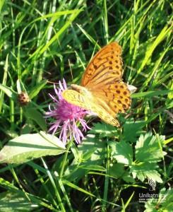 Cvetlice, metulji, narava - rjavi metulj