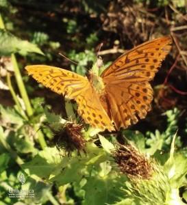 Cvetlice, metulji, narava - rjavi metulj na roži