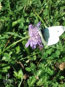 Cvetlice, metulji, narava - beli metulj na grintavcu