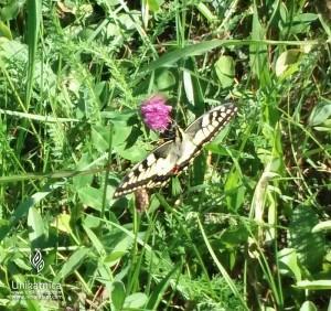 Cvetlice, metulji, narava - lastovičar, naš največji slovenski metulj na detelji