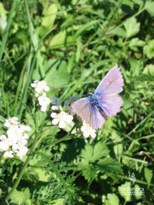 Cvetlice, metulji, narava - modri metulj na rmanu