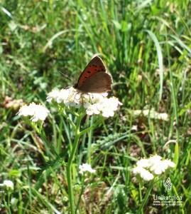 Cvetlice, metulji, narava - rjavi metulj na rmanu