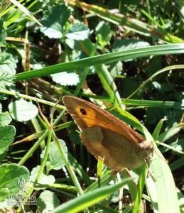 Cvetlice, metulji, narava - rjavi metulj na listu trave