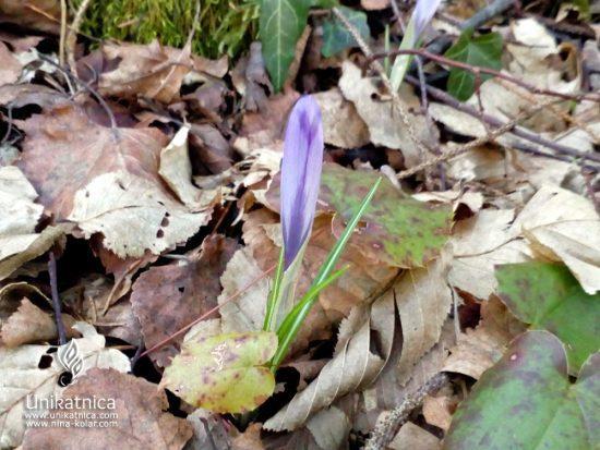 Zimsko pomladni haku - pesem pomladi - žefran ali krokus