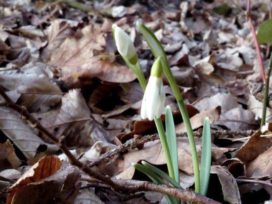 Zimsko pomladni haiku - zvonček