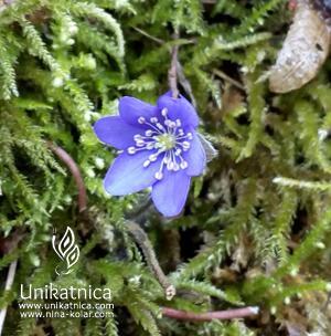 Navadni jetrnik - gozdne spominčice - pomladne cvetice, nova kolekcija cveltičnega nakita 2018