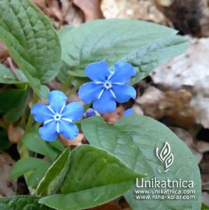 Torilnice - gozdne spominčice - pomladne cvetice, nova kolekcija cveltičnega nakita 2018