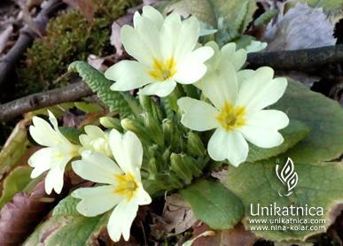 Trobentice - pomladne cvetice - pomladna kolekcija nakita 2018