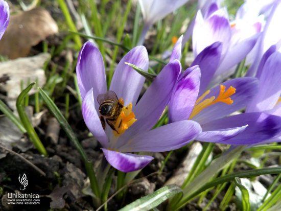 Spomladanski žefran - pomladne cvetice - pomladna kolekcija nakita 2018
