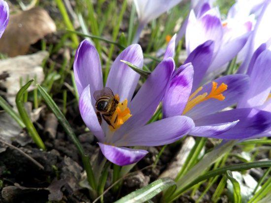 Spomladanski žefran - pomladne cvetice - pomladna kolekcija nakita 22018